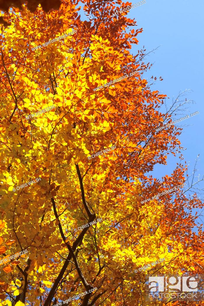 Imagen: Autumn golden yellow trees leaves canopy colourful.