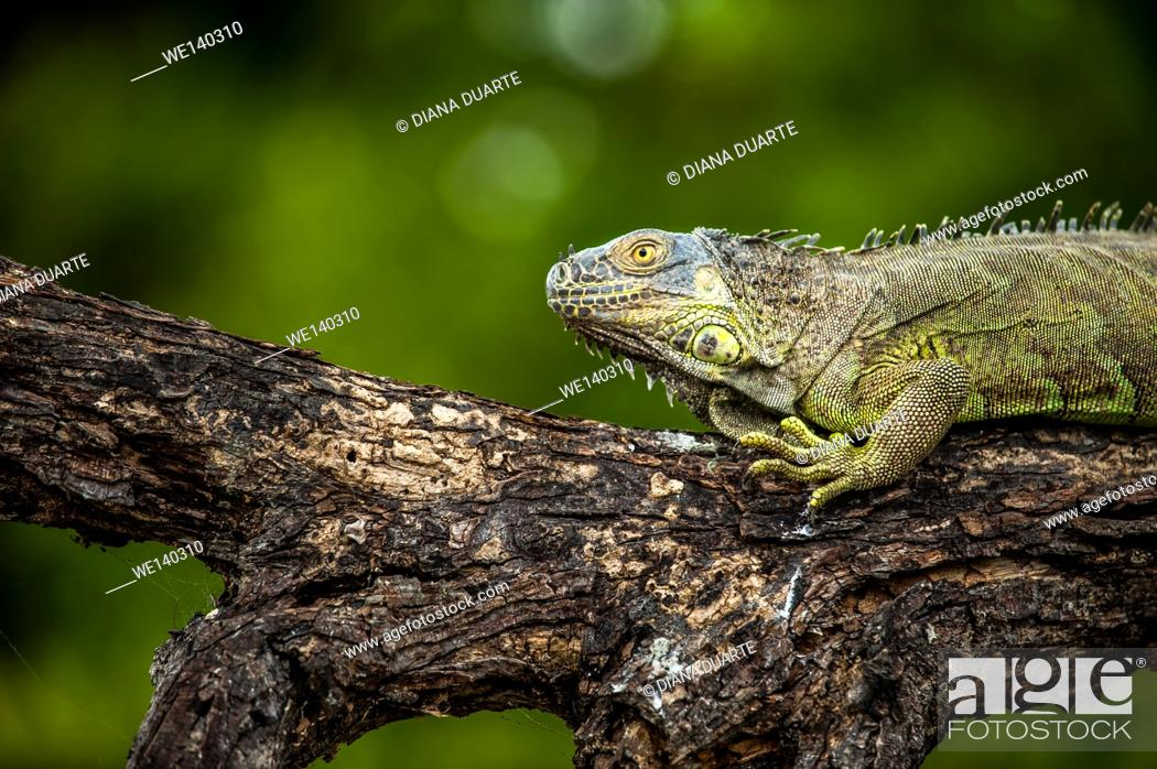 Stock Photo: 'Green Iguana ( Iguana iguana )'. They can also detach their tails if caught and will grow another without permanent damage.