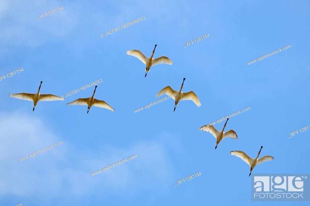 Stock Photo: Spoonbill. Platalea leucorodia. Llanos de Bótoa. Badajoz province. Extremadura. Spain.
