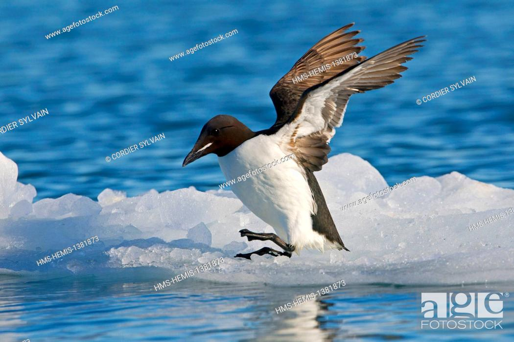 Stock Photo: Norway, Svalbard, Spitsbergen, Thick-billed Murre or Brünnich's Guillemot (Uria lomvia), resting on a piece of ice.