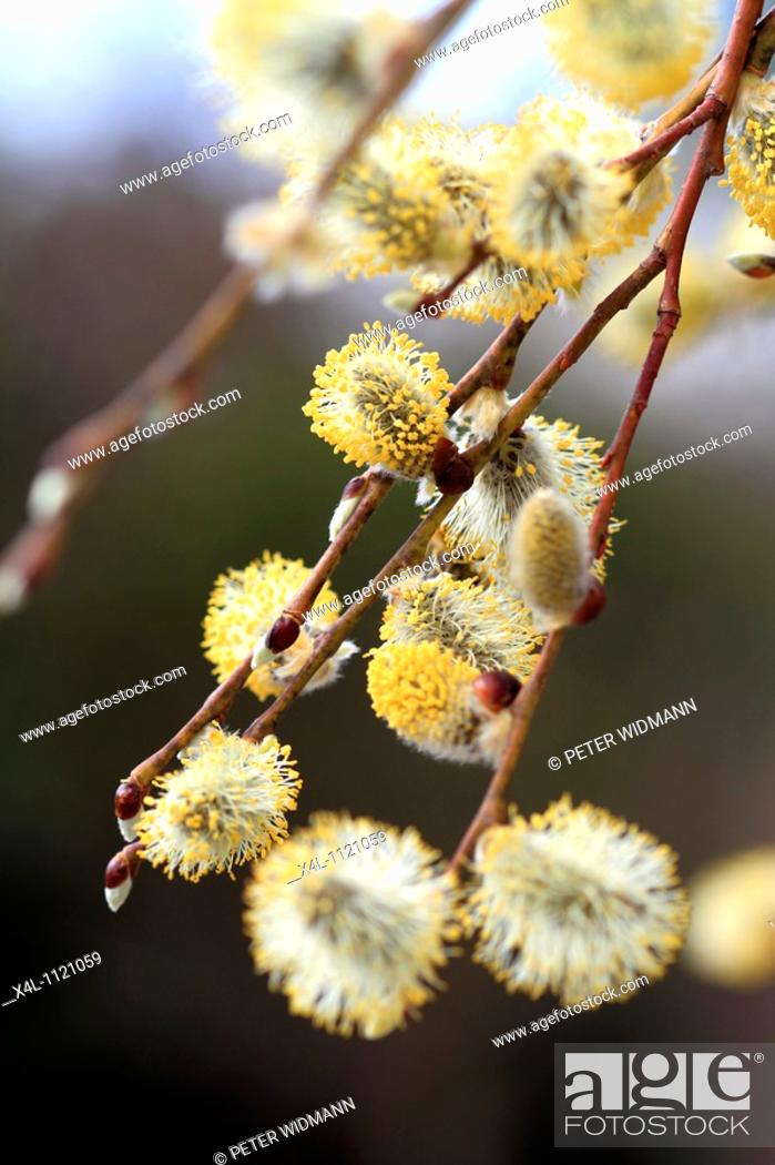 Stock Photo: Flowering willow, salix caprea, spring time.