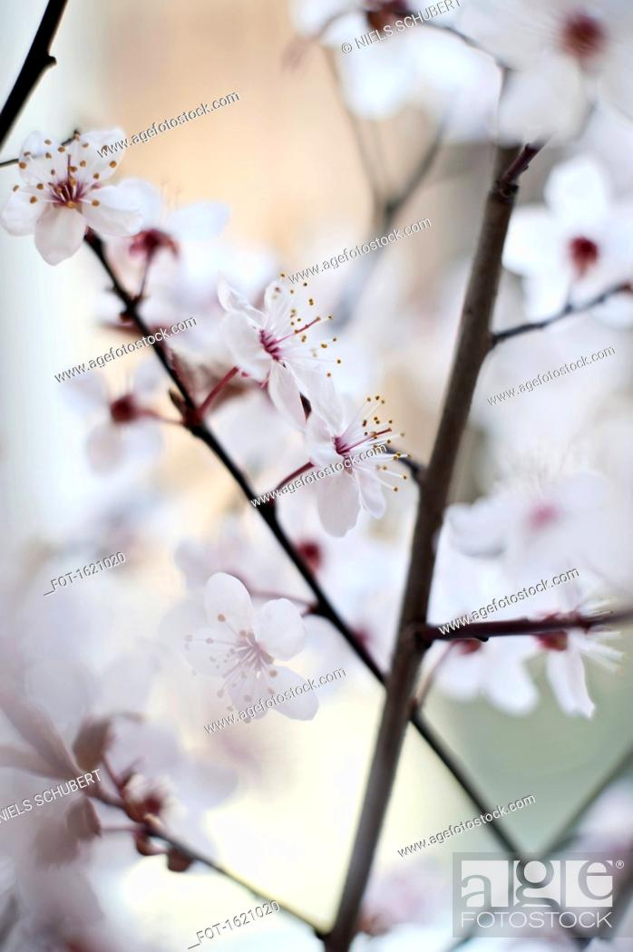 Stock Photo: Close-up of cherry blossoms.
