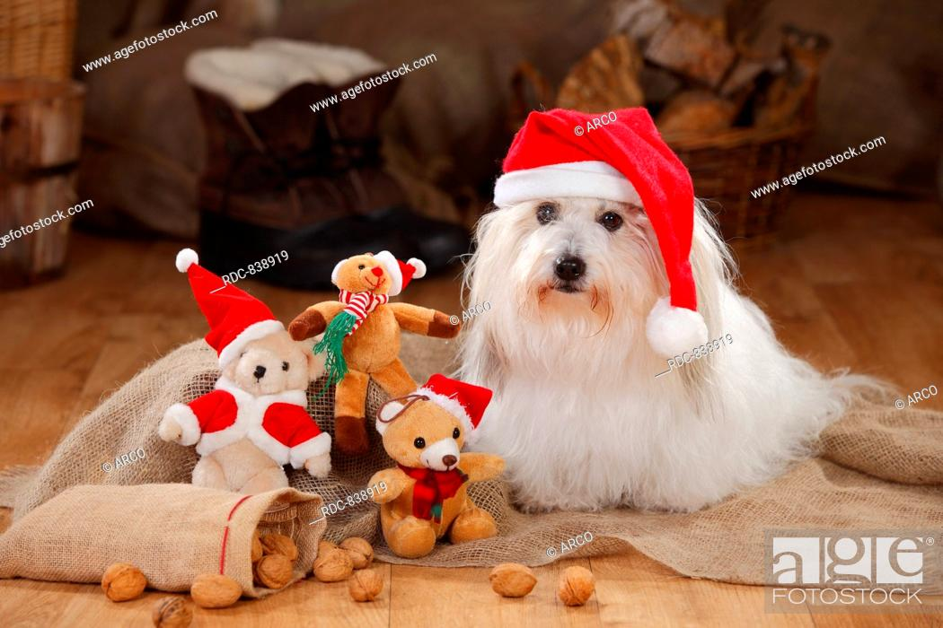 Coton De Tulear Bitch Christmas Cap Stock Photo Picture And