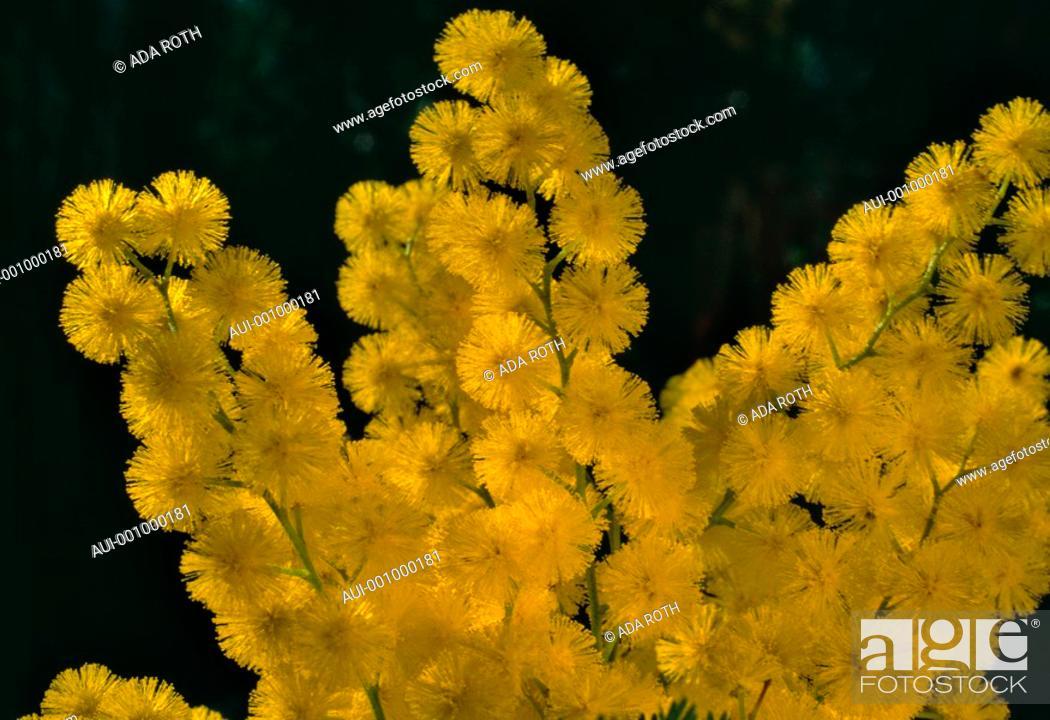 Stock Photo: Acacia dealbata - yellow - sunny - cheerful.