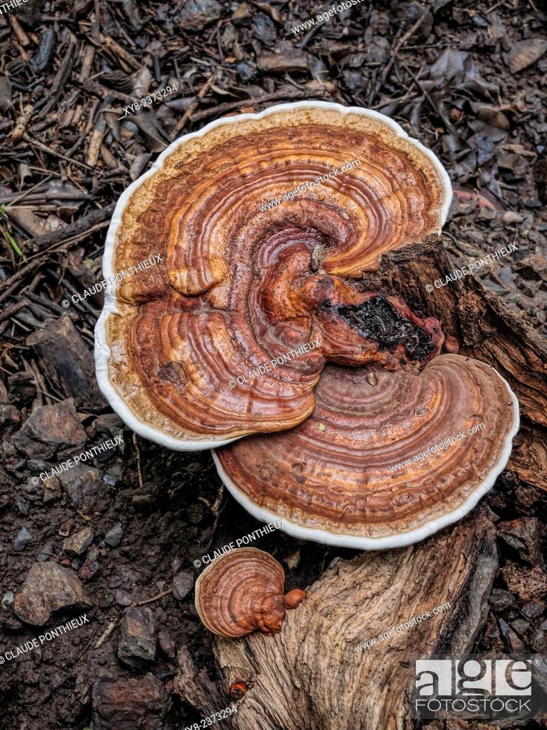 Stock Photo: Reishi mushroom, Guanacaste, Costa-Rica.
