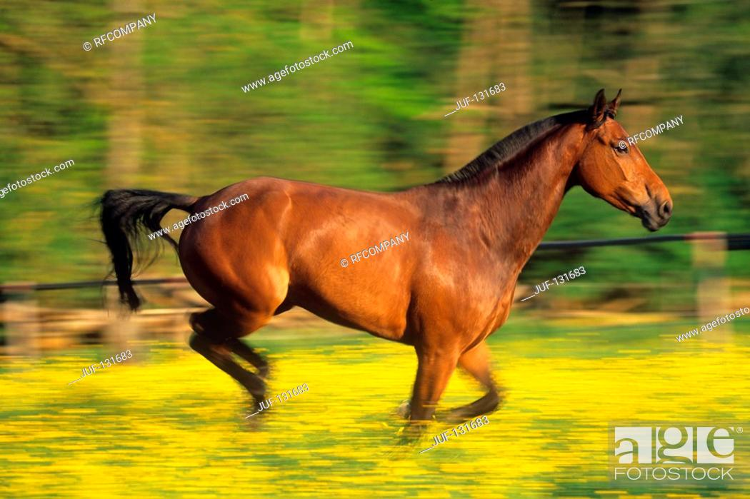 Stock Photo: German warmblood horse - galloping.