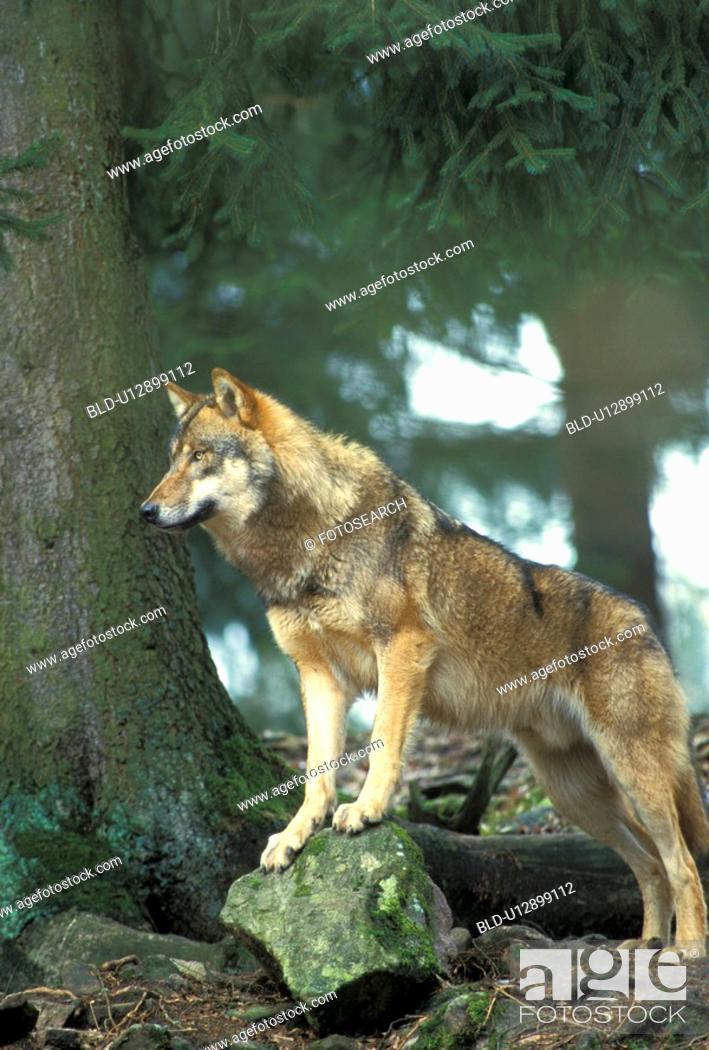 Stock Photo: canidae, carnivora, canis, animals.