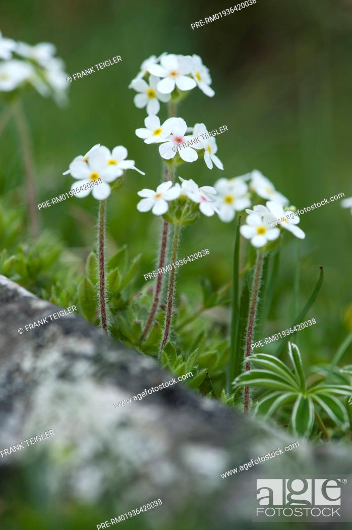 Imagen: Sweetflower rockjasmine, Androsace chamaejasme / Bewimperter Mannsschild, Androsace chamaejasme.