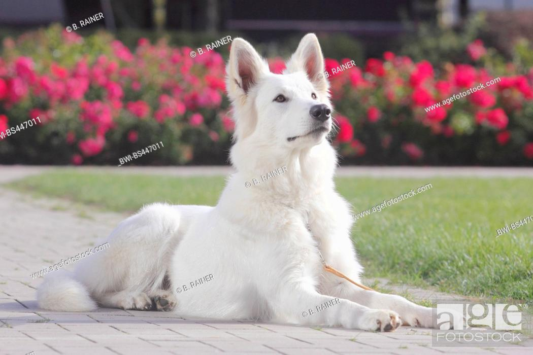 Stock Photo: Berger Blanc Suisse (Canis lupus f. familiaris), seventeen months old she dog lying on a path in front of a rose bed, side view, Germany.
