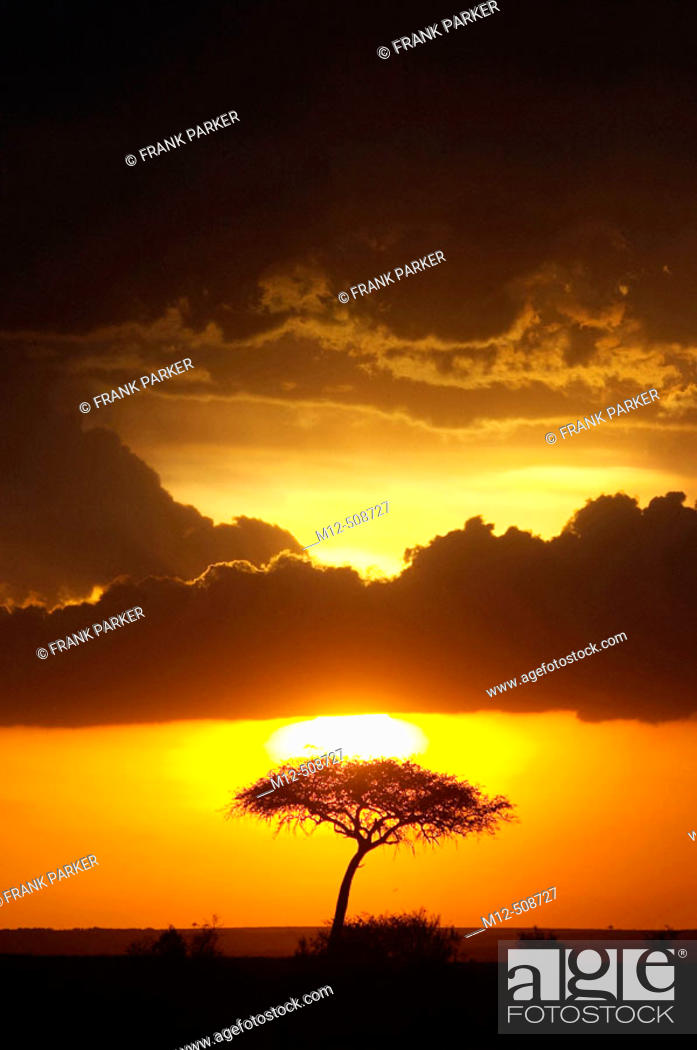 Stock Photo: Acacia tree on Amboseli landscape at sunset.