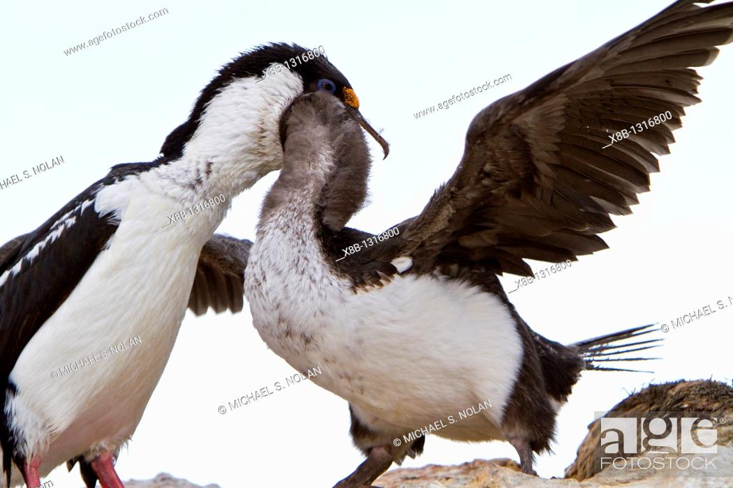 Stock Photo: Antarctic shag Phalacrocorax atriceps bransfieldensis adult feeding chick on Weinke Island, Antarctica, Southern Ocean  MORE INFO This is the only blue-eyed.