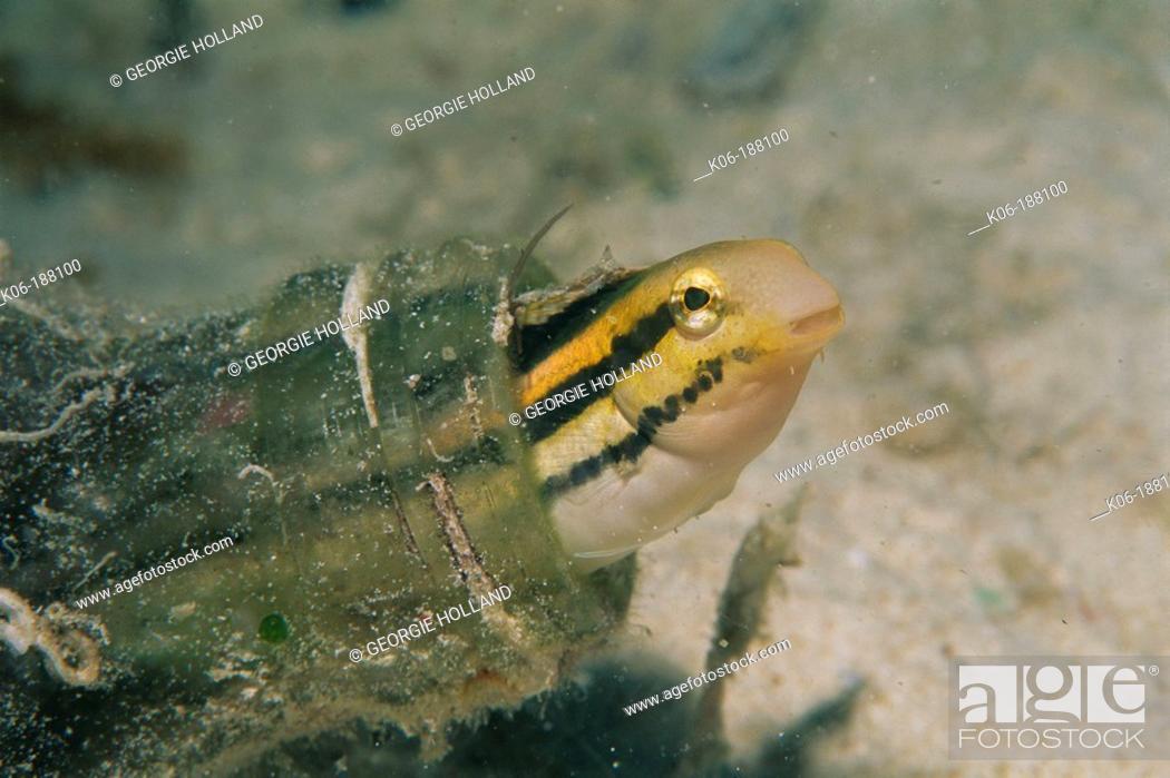 Stock Photo: Striped Poison-fang Blenny (Meiacanthus grammistes). Malaysia.