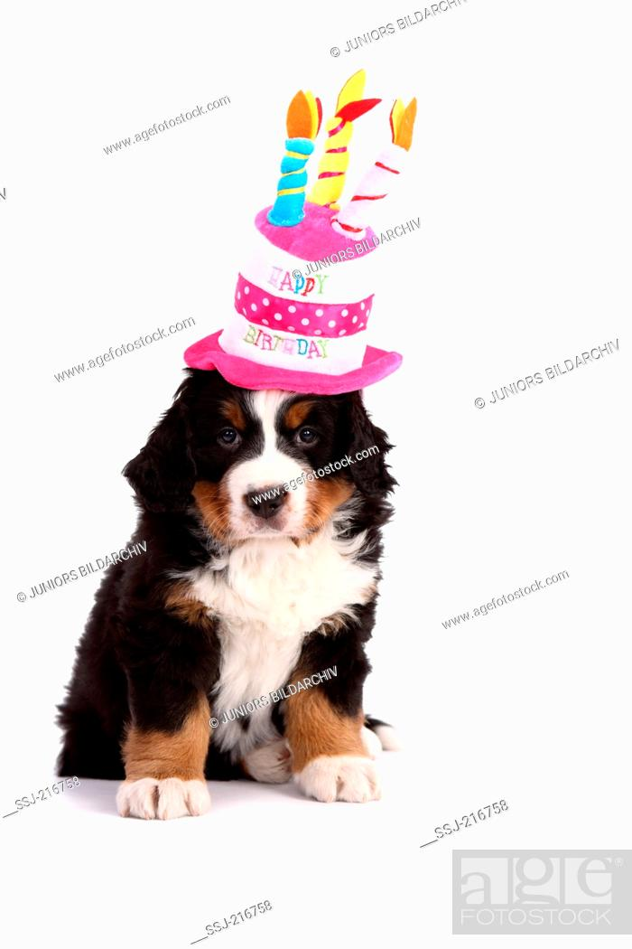 Bernese Mountain Dog Puppy 6 Weeks Old Sitting While Wearing A