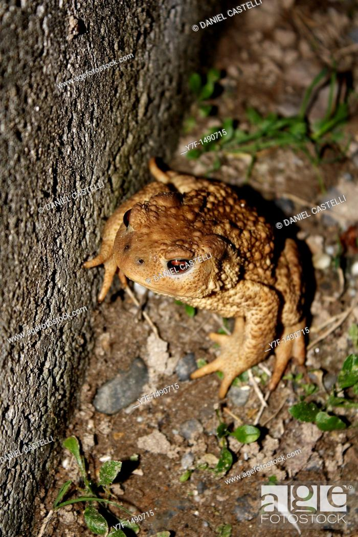 Imagen: Common toad bufo bufo.