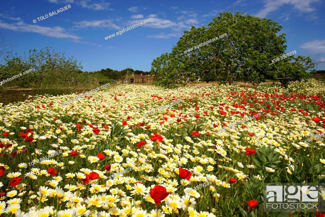 Imagen: Sant Francesc Xavier, campo primaveral. Formentera. Islas Pitiusas. Baleares. España.
