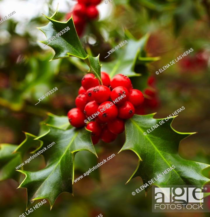 Stock Photo: Holly tree at the Botanical Garden. Madrid. Spain.