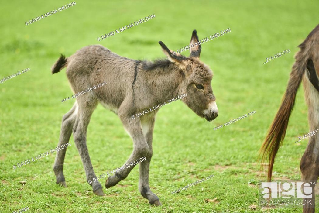 Stock Photo: Donkey (Equus asinus asinus) in meadow.