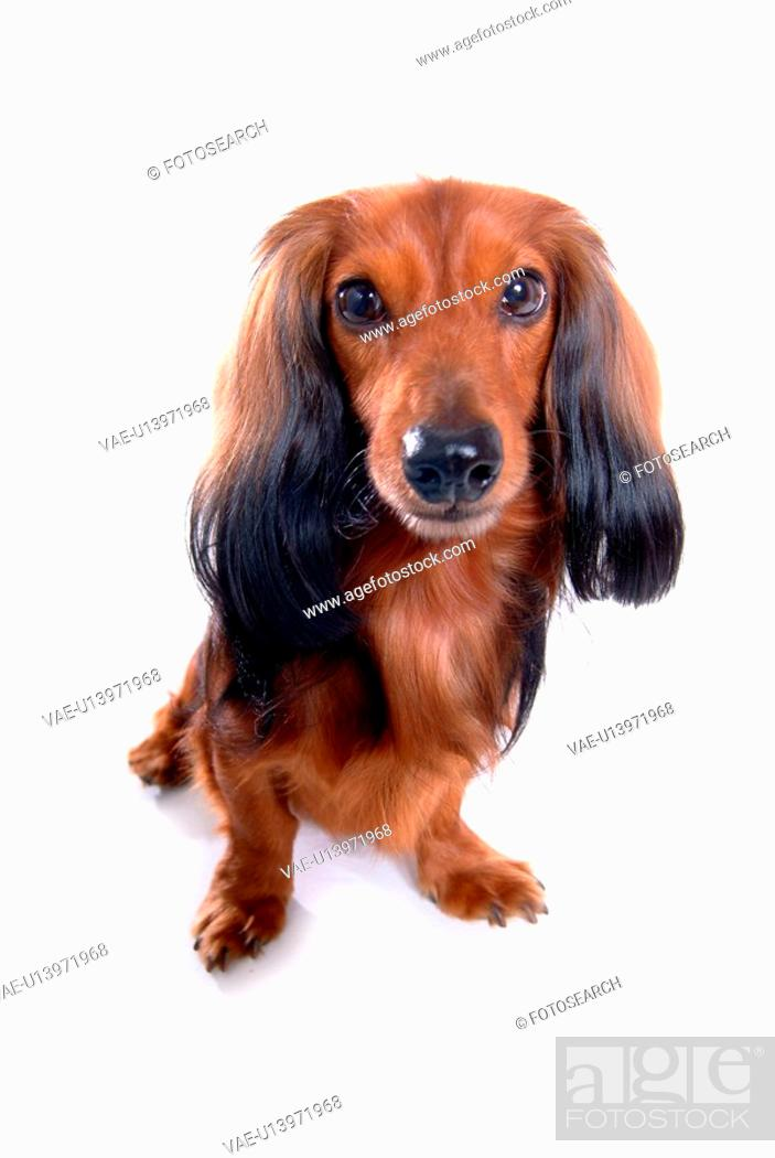Stock Photo: closeup, domestic animal, close up, looking camera, looking forward, dachshund.