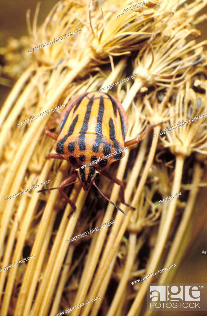 Stock Photo: Tree bug (Graphosoma semipunctatum).