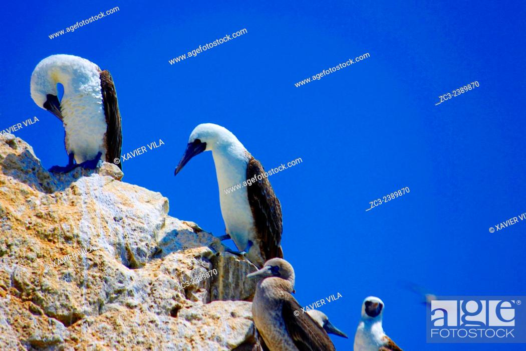 Stock Photo: Peruvian Boobies, Sula Variegata, in the Paracas National Reserve and the Ballestas Islands. This is a protected area in the province of Pisco in Peru since.