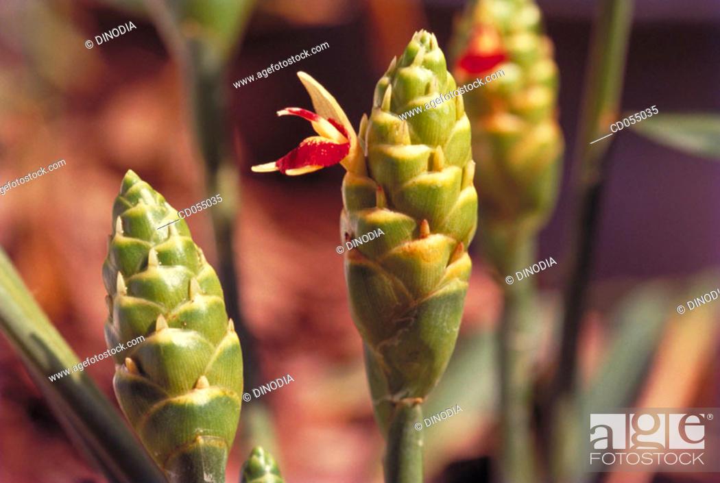 Stock Photo: Turmeric plant.