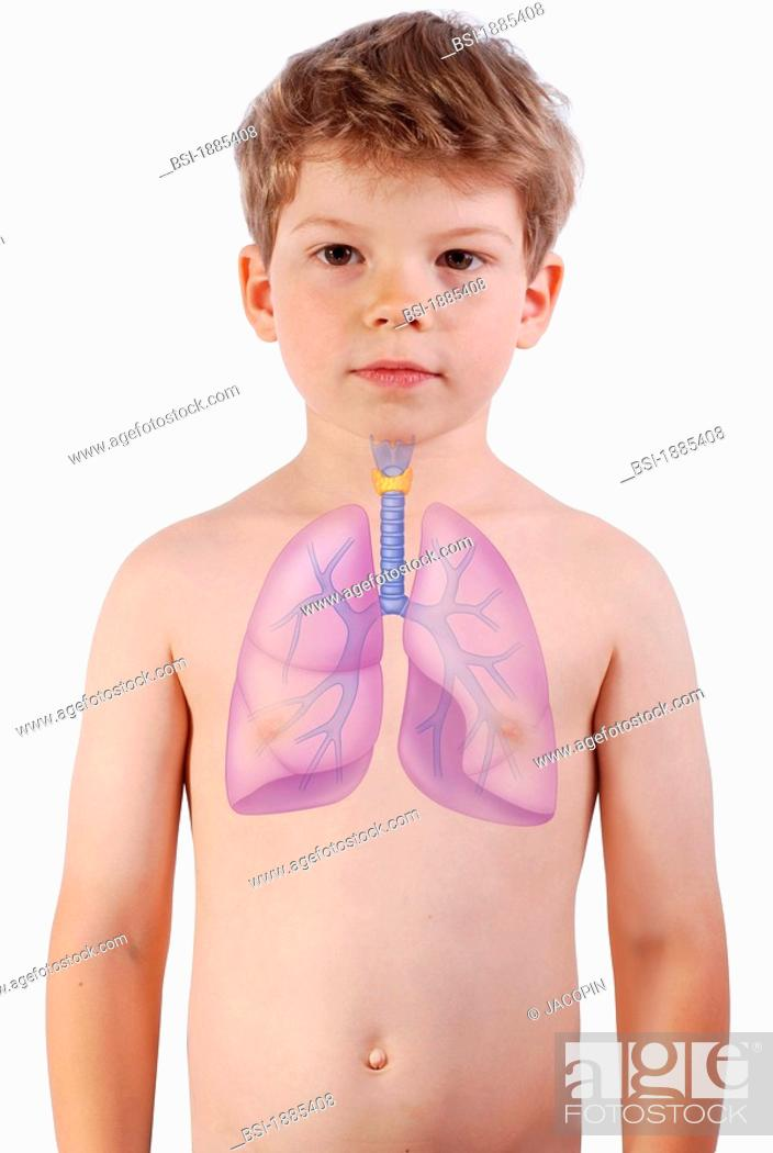 Stock Photo: RESPIRATORY TRACT DRAWING The lungs, the trachea and the thyroid gland in a 6-year-old boy.