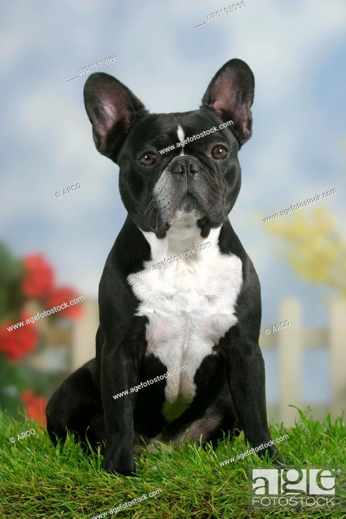 Stock Photo: French, Bulldog.