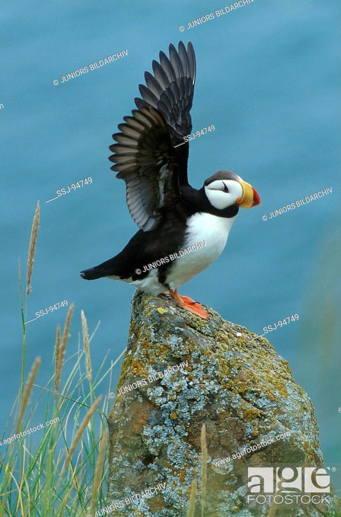 Stock Photo: fratercula corniculata / horned puffin.