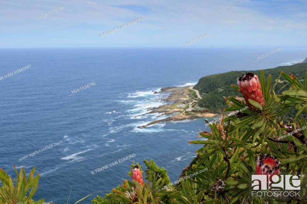 Stock Photo: Protea flowers in the foreground with the Tsitsikamma camp in the background.