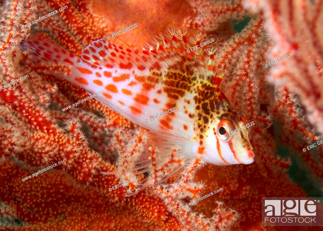 Stock Photo: Dwarf hawkfish (Cirrhitichthys falco) blends beautiful in softcoral with the same color and structure, Philippines, Mindoro, Puerto Galera, Sabang beach.