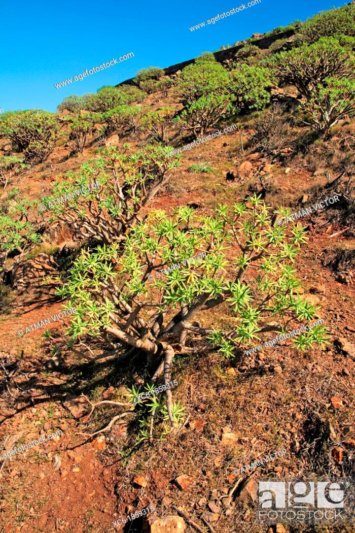 Stock Photo: Tabaiba plants in La Gomera island.