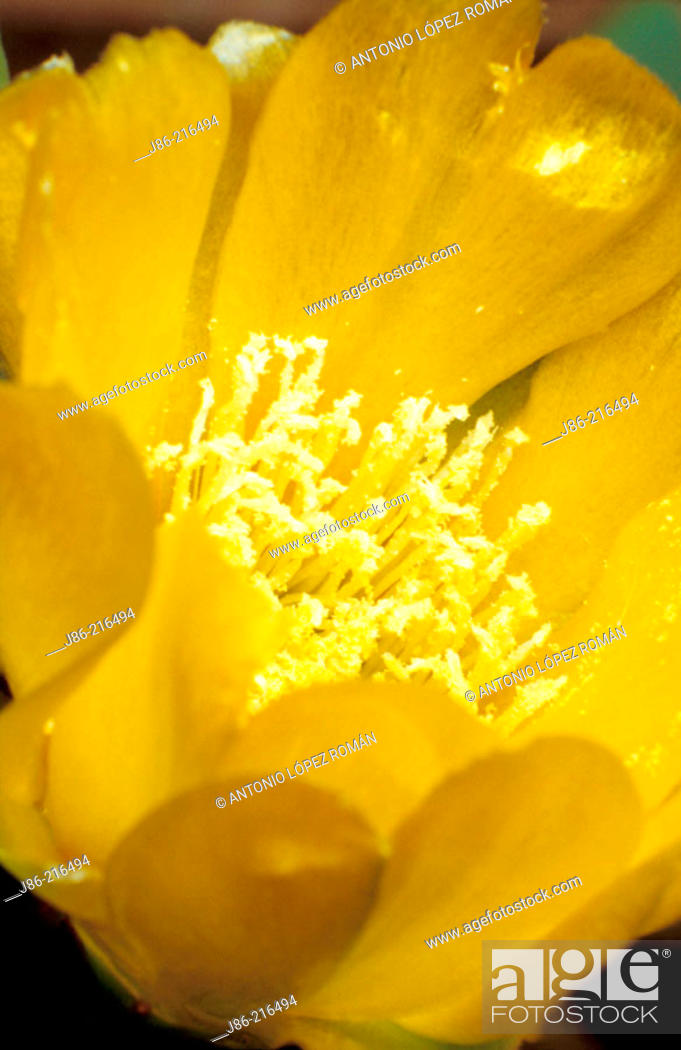 Stock Photo: Flower of Indian Fig (Opuntia ficus-indica).