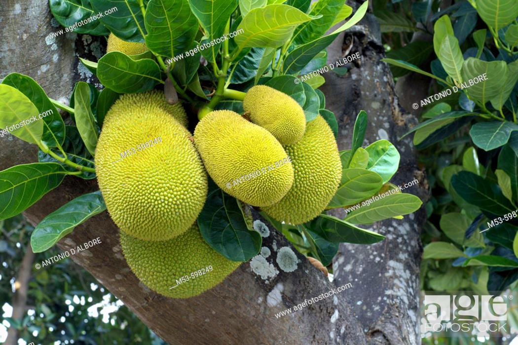 Stock Photo: Jackfruit (Artocarpus heterophyllus, fam. Moraceae), the largest tree bone fruit in the world. yogyakarta. indonesia. asia.
