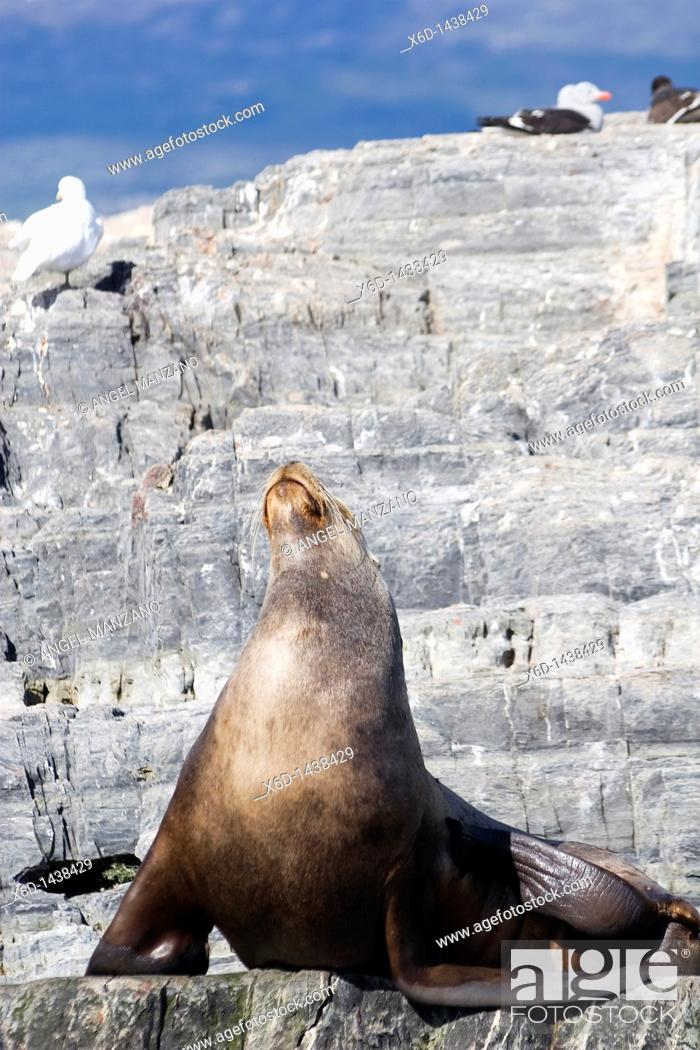 Stock Photo: Seal, Ushuaia, Tierra del Fuego island, Argentina.