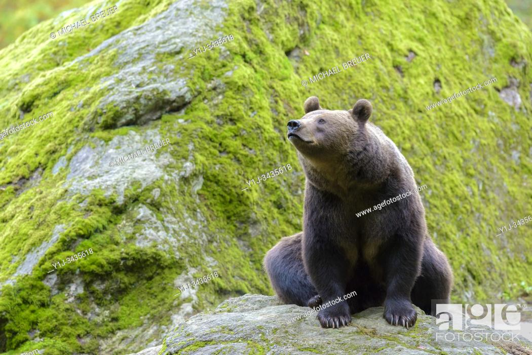 Stock Photo: European Brown Bear, Bavarian Forest National Park, Bavaria, Germany, Europe.