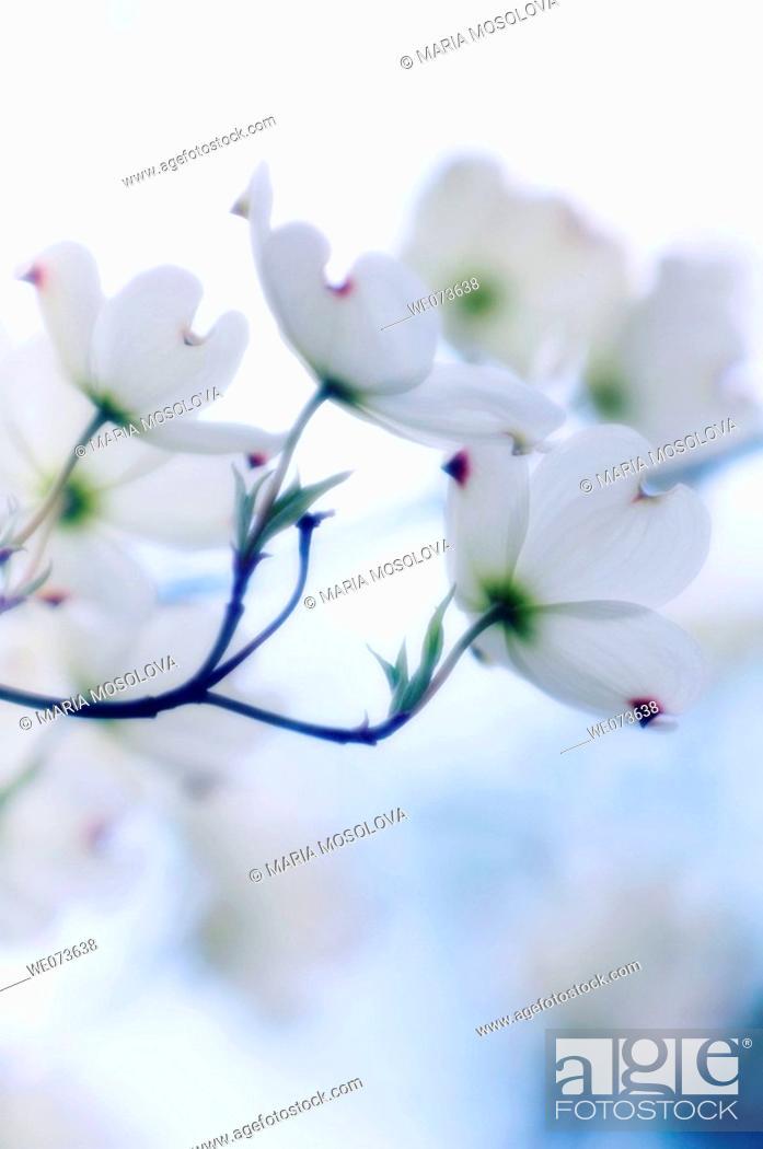 Stock Photo: White Dogwood Blossom. Cornus florida. April 2006, Maryland, USA.