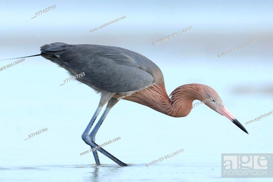Stock Photo: Reddish Egret (Egretta rufescens), dark morph, fishing in a lagoon. Florida, USA.