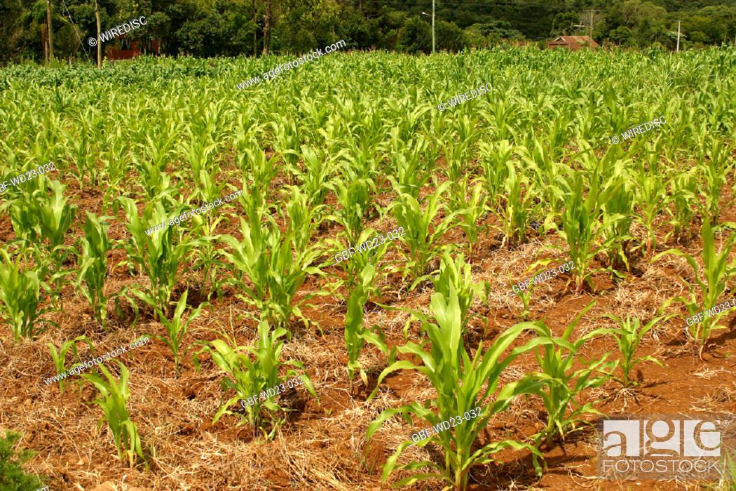 Stock Photo: Plantations, corn, agriculture, Brazil.