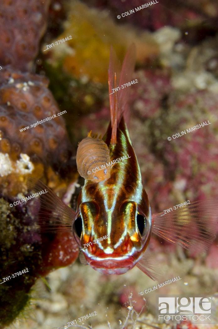 Stock Photo: Blackstripe Cardinalfish (Ostorhinchus nigrofasciatus) with Cymathoid Isopod (Cymothoa sp) parasite, Barracuda Rock dive site, Misool, Raja Ampat, West Papua.