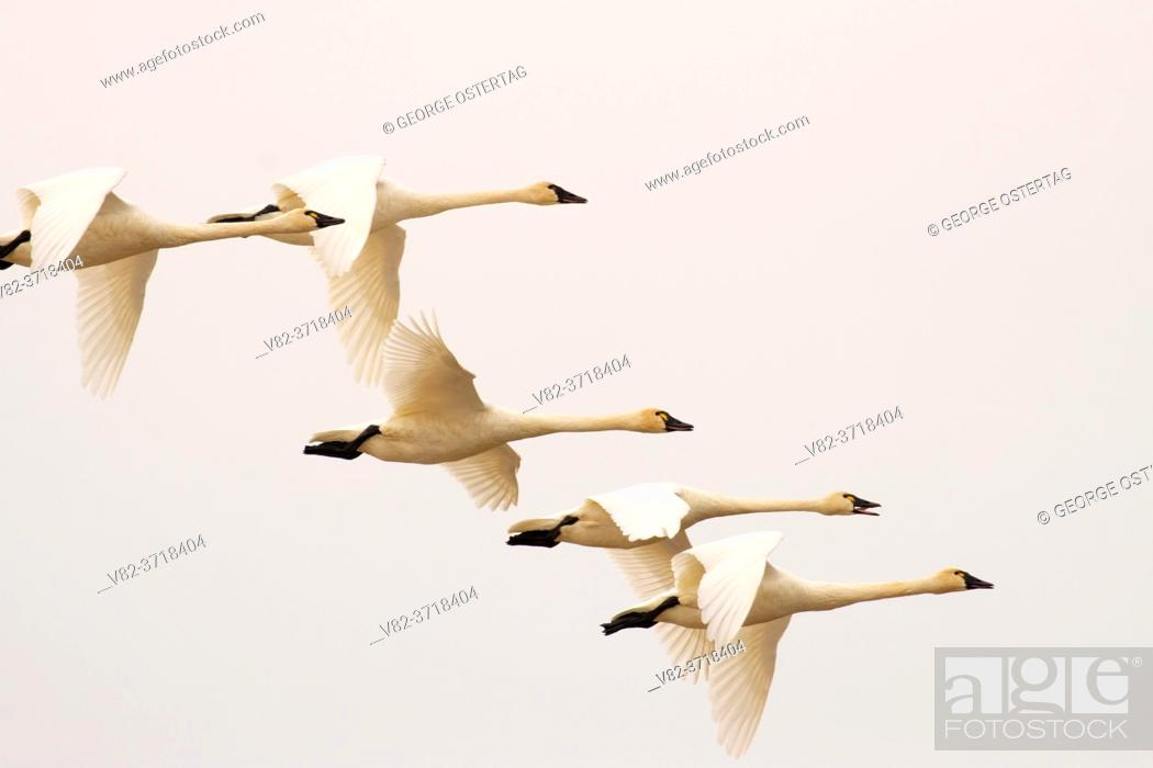 Stock Photo: Tundra swan (Cygnus columbianus) in flight at McFadden Marsh, William Finley National Wildlife Refuge, Oregon.