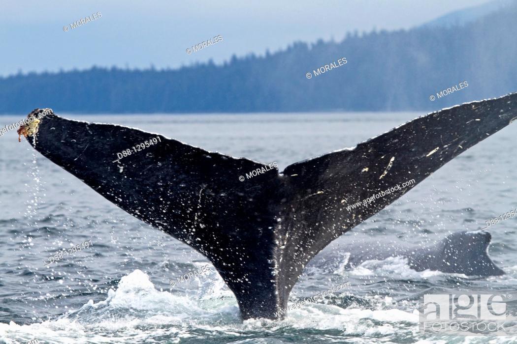 Stock Photo: Humpback whale  Caudal fin  Tail  Megaptera novaeangliae  Order: Cetacea Suborder: Mysticeti Family: Balaenopteridae.