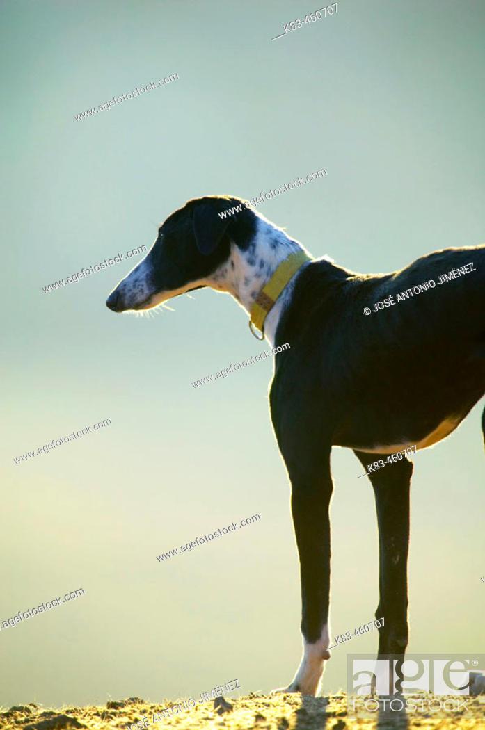 Stock Photo: Greyhound.