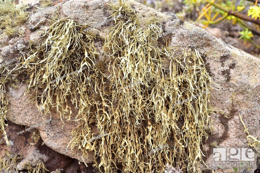 Stock Photo: Ramalina sp. on volcanic rock. This photo was taken in Lanzarote Island, Canary Islands, Spain.
