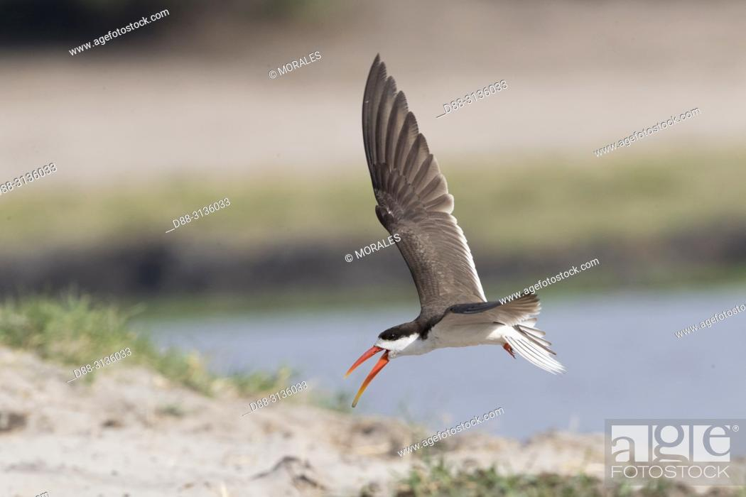Stock Photo: Africa, Southern Africa, Bostwana, Chobe i National Park, Chobe river, . African skimmer (Rynchops flavirostris).