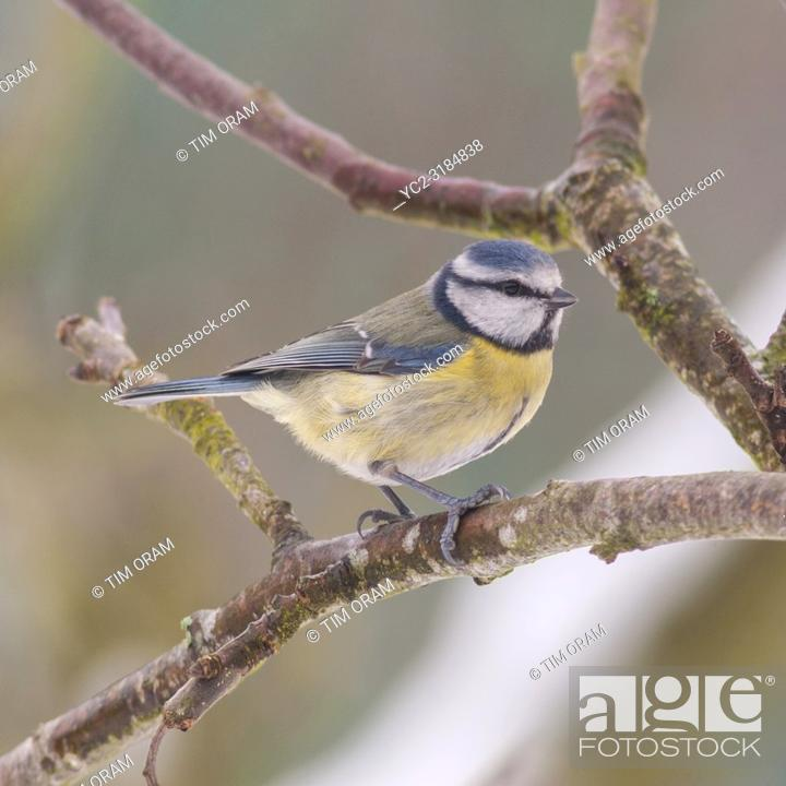 Stock Photo: A Blue Tit (Parus caeruleus) feeding in freezing conditions in a Norfolk garden.
