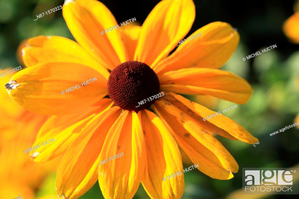 Stock Photo: Asteraceae Rudbeckia.