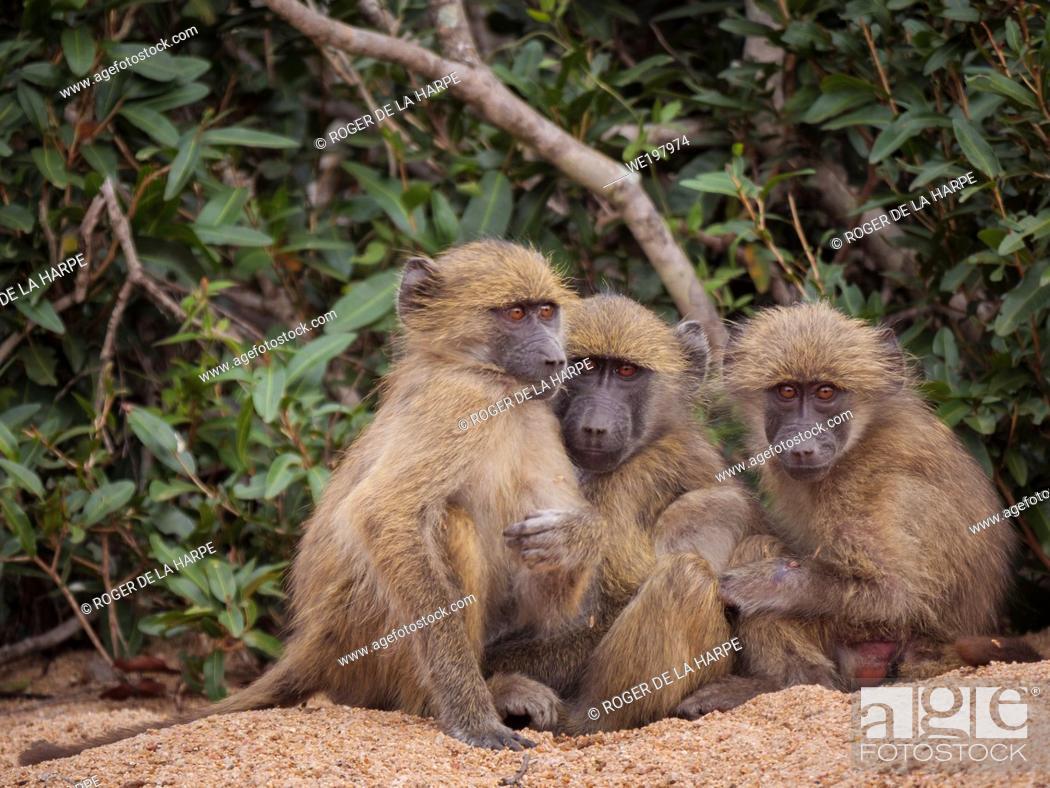 Stock Photo: Chacma baboon or Cape Baboon (Papio ursinus). Mpumlanga. South Africa.