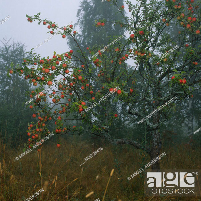 Stock Photo: Red berries on a tree.