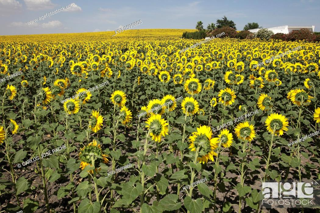 Stock Photo: Sunflowers field, Andalucia, Spain.