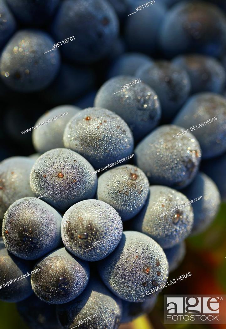 Stock Photo: Tempranillo grapes closeup  Rioja alavesa wine route  Alava  Basque country  Spain.